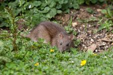 Free Wild Brown Rat Stock Image - 9836571