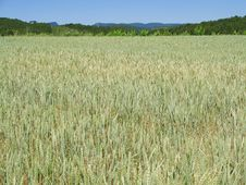 The Field Of The Wheat Royalty Free Stock Photography