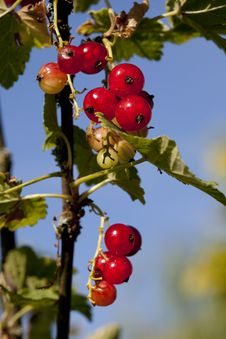 Free Redcurrant Grape Royalty Free Stock Images - 9836939