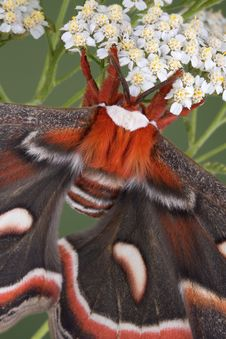 Cecropia Moth On Flowers Stock Images