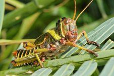 Free Grasshopper Royalty Free Stock Photography - 9838327