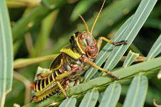 Free Grasshopper Royalty Free Stock Photo - 9838375