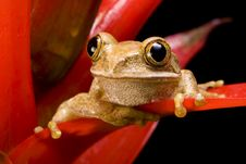 Free Marbled Reed Frog Royalty Free Stock Image - 9838416