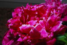 Free Blooming Peony Royalty Free Stock Photos - 9838598