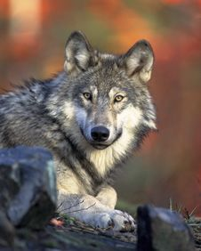 Free Wolf And Wolves Royalty Free Stock Images - 98351829