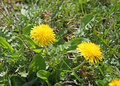 Free Coltsfoot Flowers Growing Among Green Grass Stock Photo - 9845060