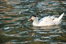 Free White Duck Stock Photos - 9840143
