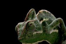 Free Veiled Chameleon Royalty Free Stock Image - 9840466
