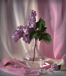 Branch Of The Lilac Royalty Free Stock Photo