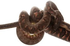 Free Solomon Island Tree Boa Stock Photo - 9840710
