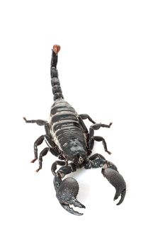 Free Emperor Scorpion Royalty Free Stock Photography - 9841277