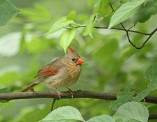 Free Female Cardinal (Cardinalis Cardinalis) Stock Images - 9842674