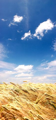Free Golden Field Royalty Free Stock Image - 9842816
