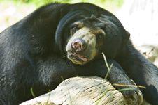 Free Sun Bear Royalty Free Stock Image - 9842986