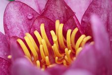 Free Pink Waterlily Stock Image - 9843471