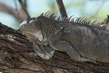 Free Green Iguana (Iguana Iguana) Royalty Free Stock Photos - 9844458