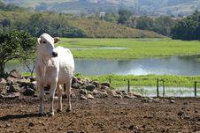 Free Cow Stock Photo - 9844480