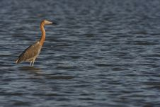 Free Reddish Egret (Egretta Rufescens Rufescens) Stock Photos - 9844483