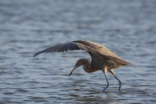 Free Reddish Egret (Egretta Rufescens Rufescens) Stock Photography - 9844512