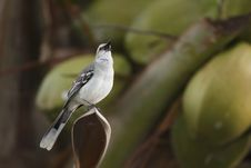 Free Tropical Mockingbird (Mimus Gilvus Rostratus) Stock Photography - 9844522