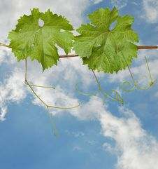Free Grapevine On Sky Background Stock Photography - 9844562