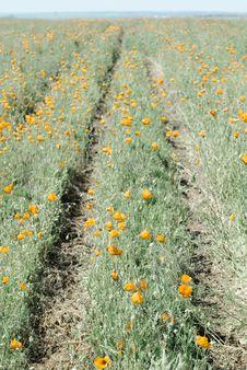Free Poppy Stock Photo - 9844600
