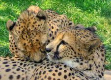 Free Loving Cheetas Royalty Free Stock Image - 9844636