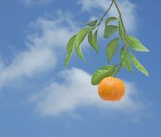 Tangerine On Branch Stock Image