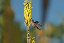 Free Ruby-topaz Hummingbird Feeding Royalty Free Stock Images - 9844709