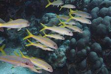 Free Yellow Goatfish (Mulloidichthys Martinicus) Stock Images - 9844734
