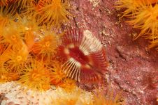 Free Split-Crown Feather Duster Worm Stock Images - 9844774