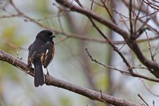 Free Eastern Towhee Stock Images - 9844864