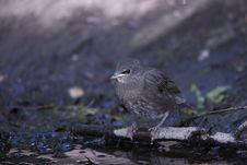 European Starling (Sturnus Vulgaris Vulgaris) Royalty Free Stock Photography