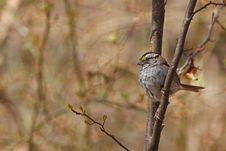Free White-throated Sparrow (Zonotrichia Albicollis) Royalty Free Stock Photography - 9845007
