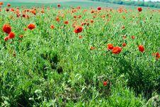 Free Poppy Royalty Free Stock Photos - 9845328