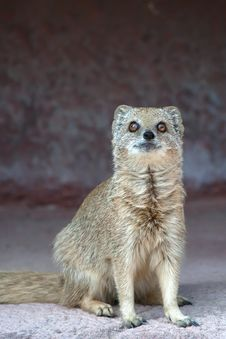 Free Mongoose Stock Photos - 9847223