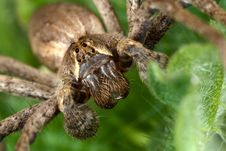 Free Nursery Web Spider Royalty Free Stock Image - 9847306