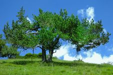 Free Bright Green Pine Tree On A Blue Sky Royalty Free Stock Photo - 9848315