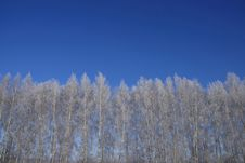Free Snowcovered Birch Tree Against Of The Blue Sky Royalty Free Stock Image - 9848406