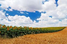 Sunflowers With Cloudy Sky Stock Photography