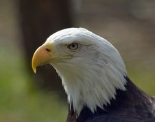 Free Bald Eagle Royalty Free Stock Image - 9848866