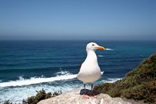 Free Seagull Stock Photos - 9849563