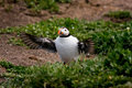 Free Puffin Flapping Its Wings Royalty Free Stock Photo - 9856465