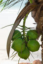 Free Coconuts Stock Image - 9858441