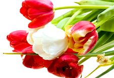 Free Colored Tulips Isolated Over White Royalty Free Stock Image - 9850116