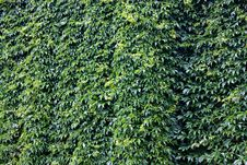 Free Green Ivy Wall Stock Photo - 9851150