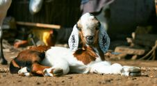 Free Brown And White Pygmy Goat Lying On The Ground Stock Images - 9851554