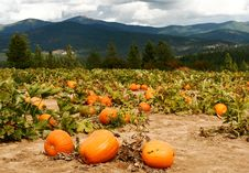 Free Pumpkin Patch Royalty Free Stock Photography - 9852677