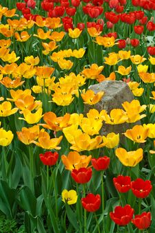 Tulips And Stone Stock Image