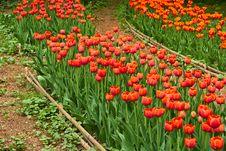 Free Tulips In Botanical Garden Stock Image - 9852781